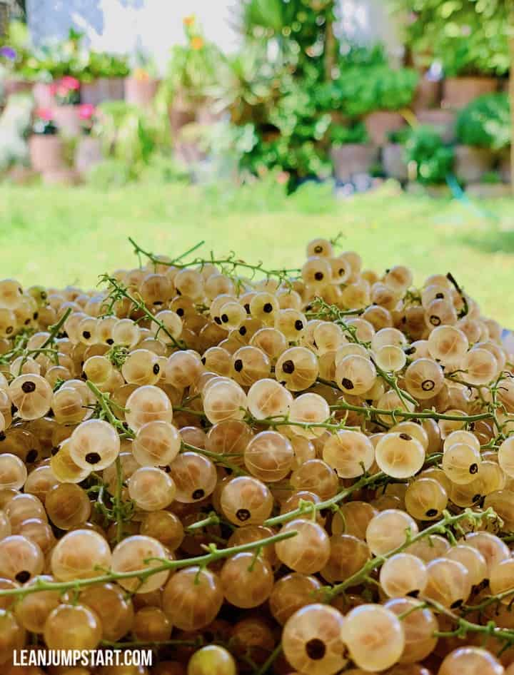 white currants picked from the bush in our garden